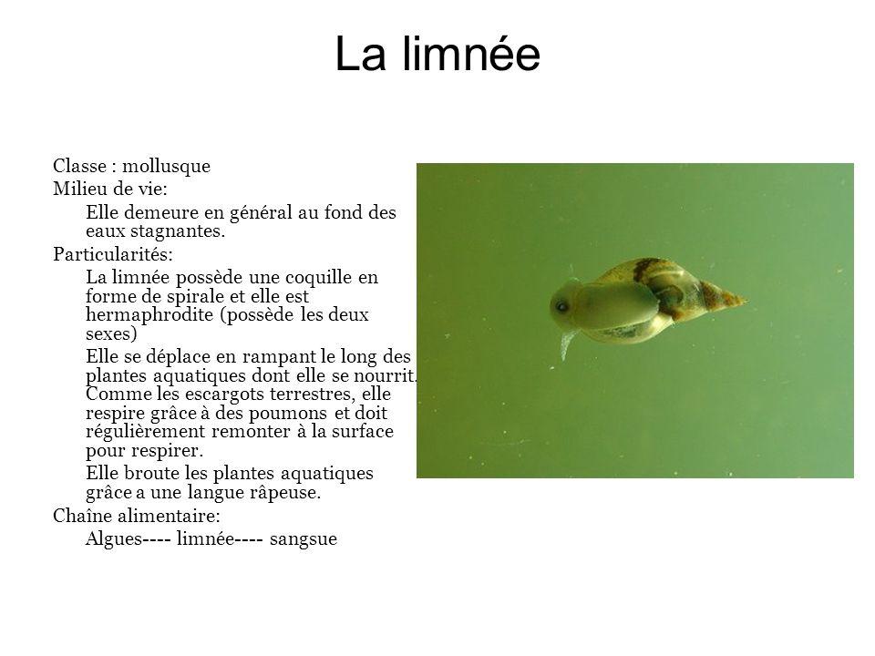 La limnée Classe : mollusque Milieu de vie: Elle demeure en général au fond des eaux stagnantes. Particularités: La limnée possède une coquille en for