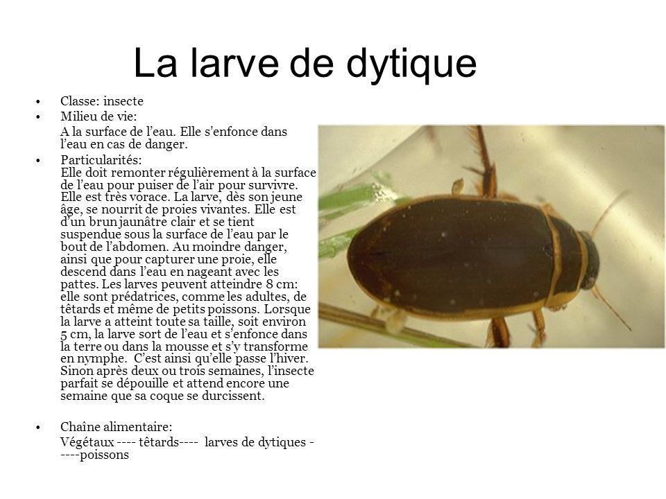 La larve de dytique Classe: insecte Milieu de vie: A la surface de leau. Elle senfonce dans leau en cas de danger. Particularités: Elle doit remonter