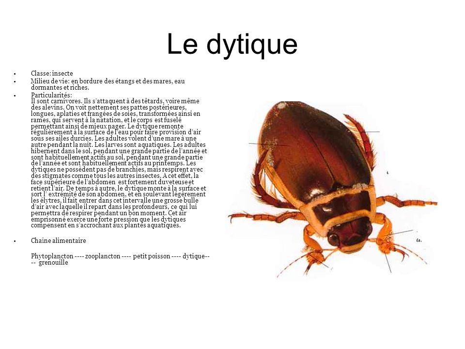 Le dytique Classe: insecte Milieu de vie: en bordure des étangs et des mares, eau dormantes et riches. Particularités: Il sont carnivores. Ils sattaqu