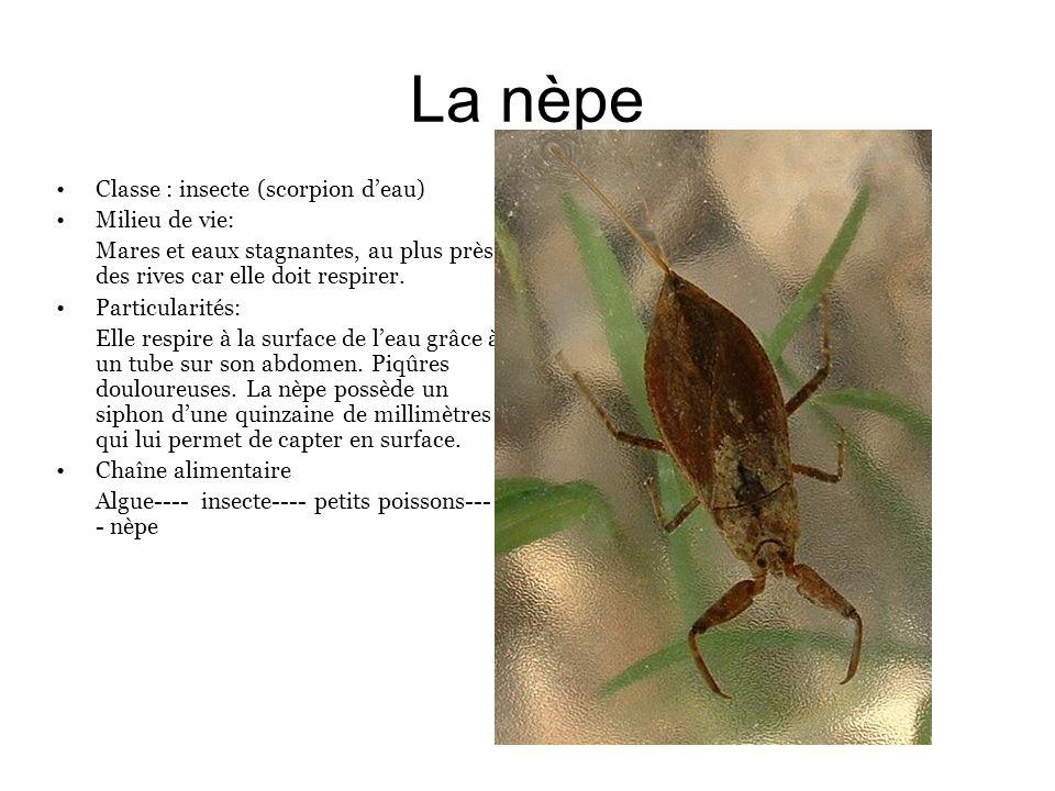 La nèpe Classe : insecte (scorpion deau) Milieu de vie: Mares et eaux stagnantes, au plus près des rives car elle doit respirer. Particularités: Elle