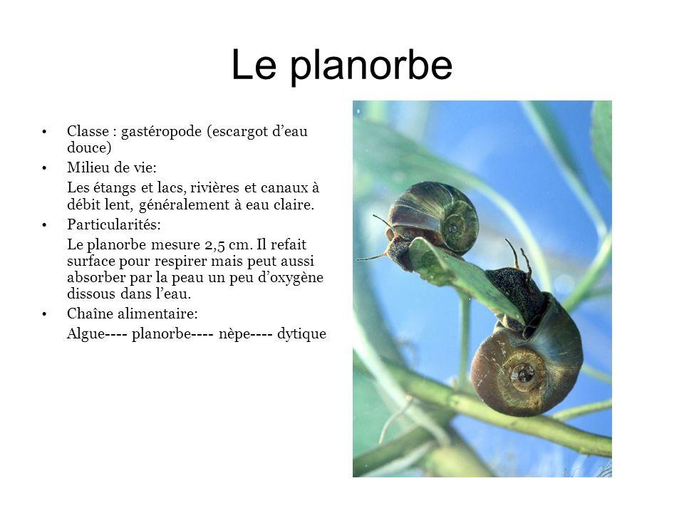 Le planorbe Classe : gastéropode (escargot deau douce) Milieu de vie: Les étangs et lacs, rivières et canaux à débit lent, généralement à eau claire.