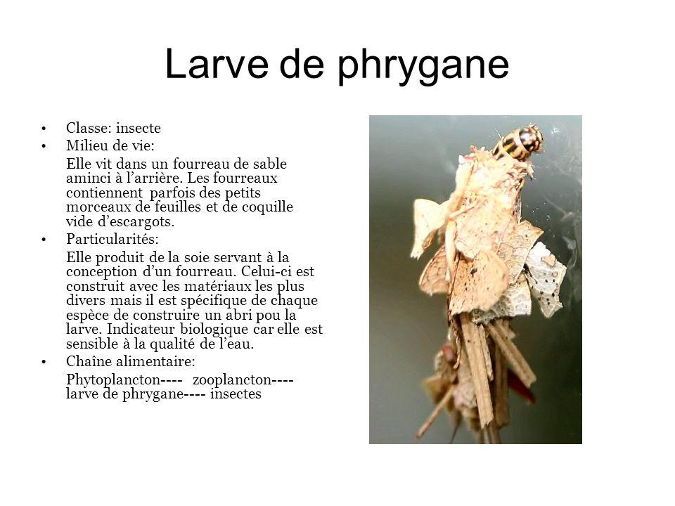 Larve de phrygane Classe: insecte Milieu de vie: Elle vit dans un fourreau de sable aminci à larrière. Les fourreaux contiennent parfois des petits mo