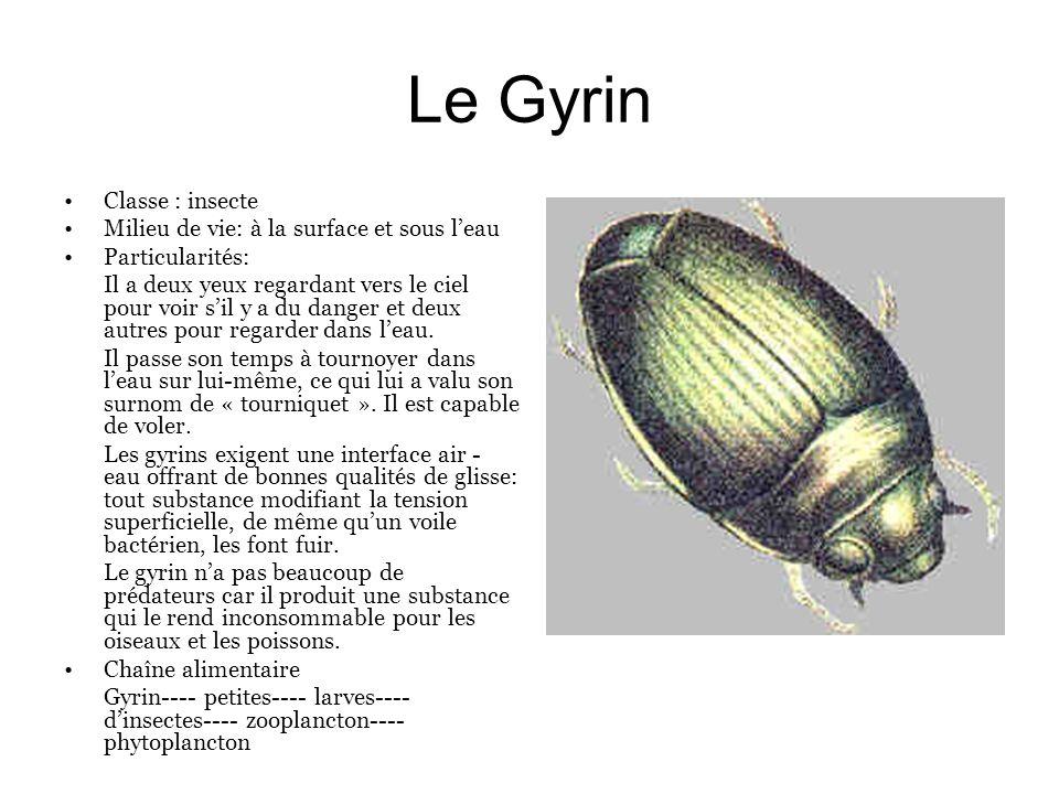 Le Gyrin Classe : insecte Milieu de vie: à la surface et sous leau Particularités: Il a deux yeux regardant vers le ciel pour voir sil y a du danger e