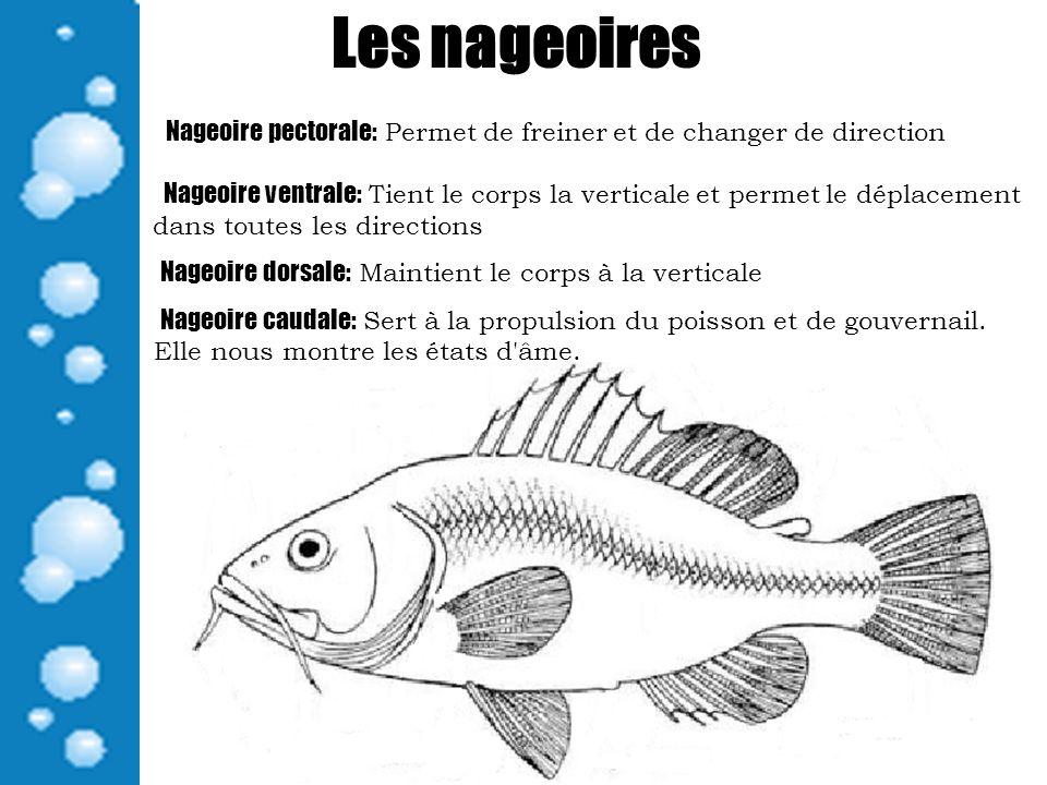 Les nageoires Nageoire pectorale: Permet de freiner et de changer de direction Nageoire ventrale: Tient le corps la verticale et permet le déplacement