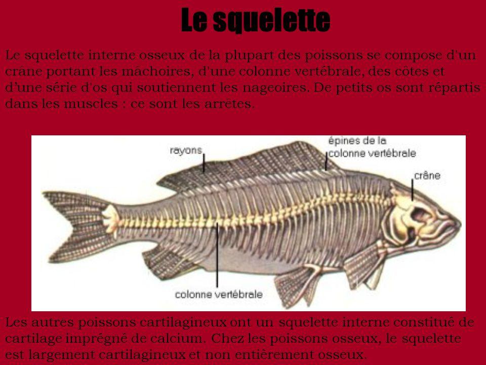Le squelette Le squelette interne osseux de la plupart des poissons se compose d'un crâne portant les mâchoires, d'une colonne vertébrale, des côtes e
