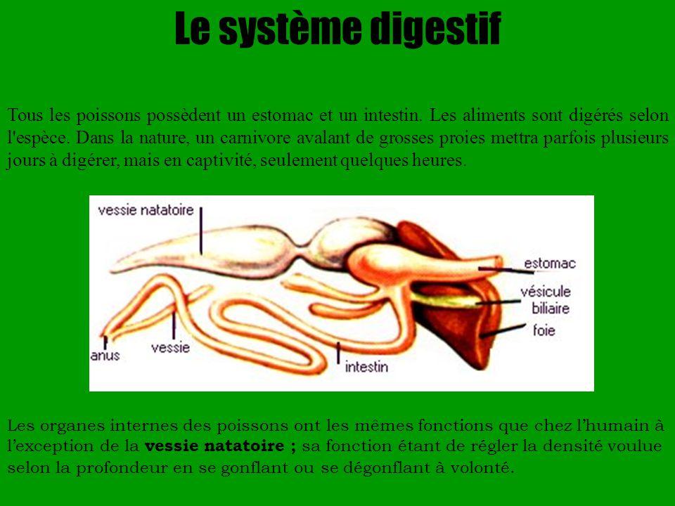 Le système digestif Tous les poissons possèdent un estomac et un intestin. Les aliments sont digérés selon l'espèce. Dans la nature, un carnivore aval