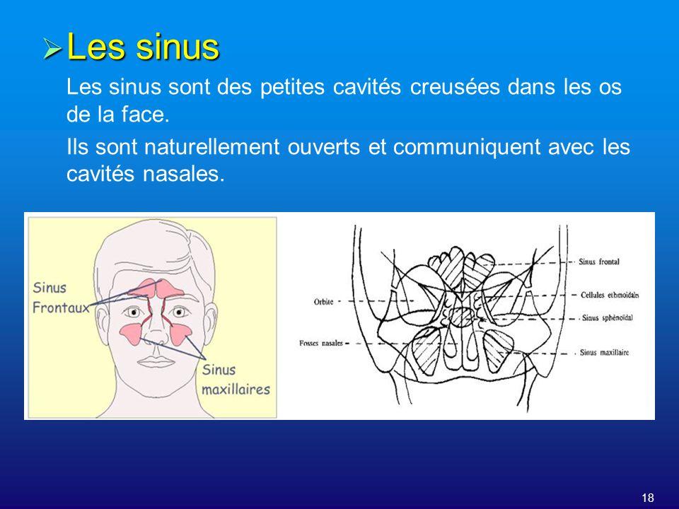 18 Les sinus Les sinus Les sinus sont des petites cavités creusées dans les os de la face. Ils sont naturellement ouverts et communiquent avec les cav