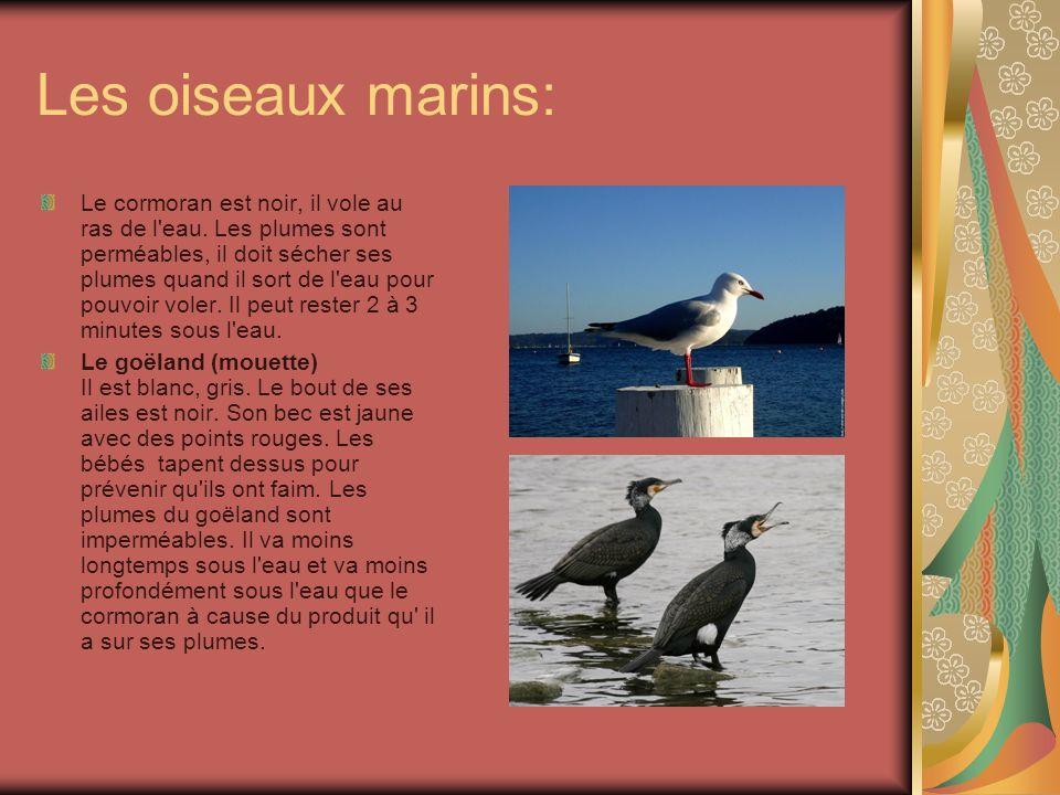 Les oiseaux marins: Le cormoran est noir, il vole au ras de l'eau. Les plumes sont perméables, il doit sécher ses plumes quand il sort de l'eau pour p