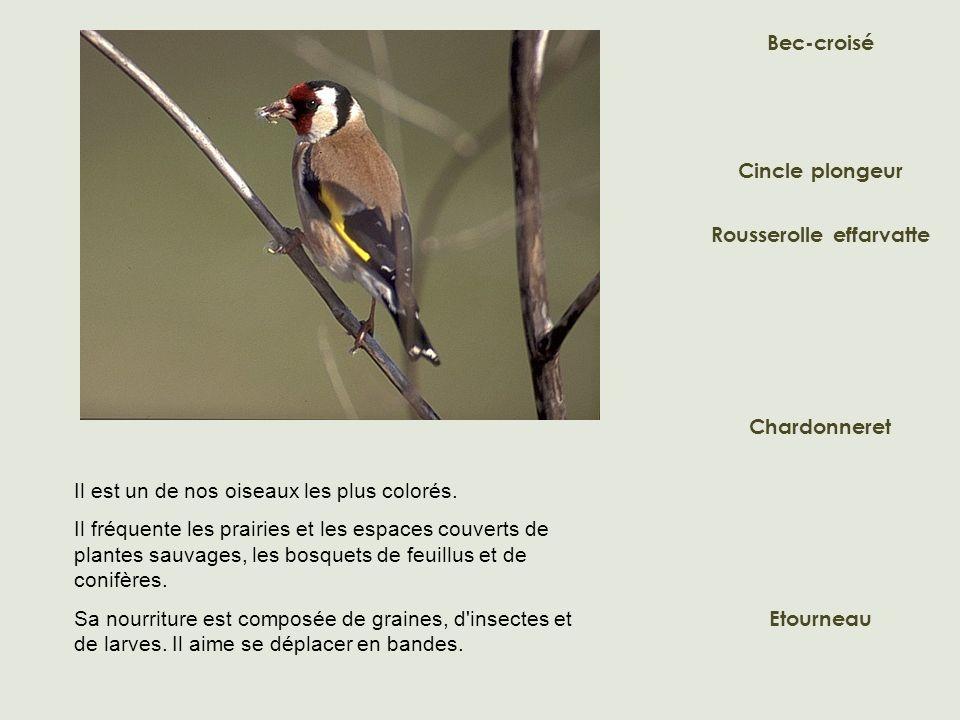 Bec-croisé Cincle plongeur Rousserolle effarvatte Etourneau Chardonneret Il est un de nos oiseaux les plus colorés. Il fréquente les prairies et les e