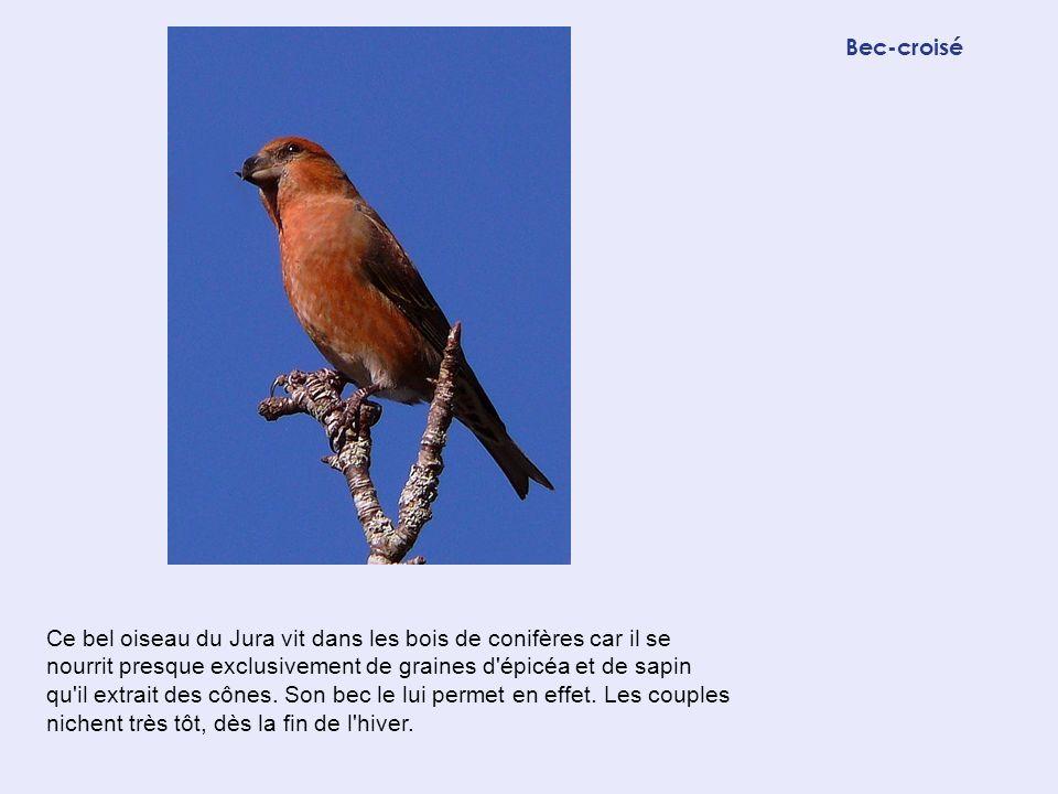 Bec-croisé Ce bel oiseau du Jura vit dans les bois de conifères car il se nourrit presque exclusivement de graines d'épicéa et de sapin qu'il extrait