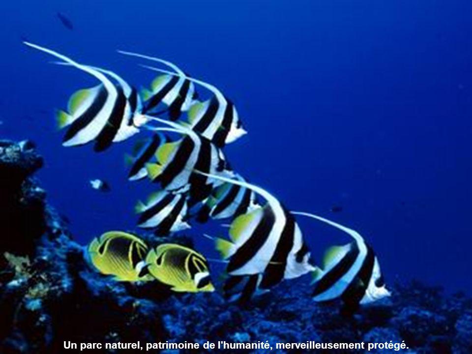 Des centaines de milliers de poissons nagent en bancs compacts, pour le plus grand plaisir des plongeurs et non des pêcheurs .