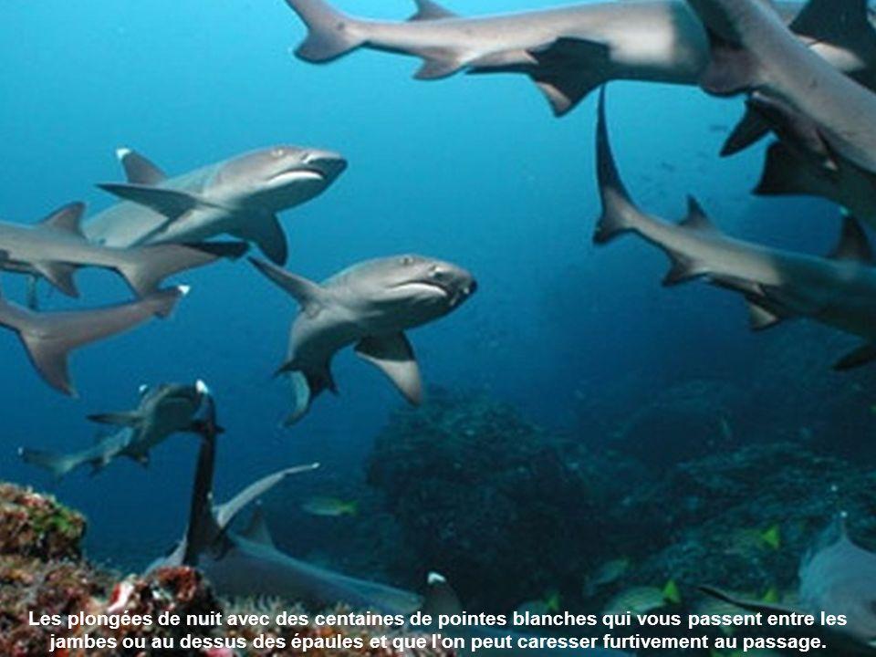 Le grand dauphin également appelé souffleur ou dauphin à gros nez.