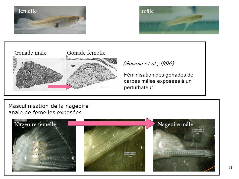 11 Féminisation des gonades de carpes mâles exposées à un perturbateur. (Gimeno et al., 1996) Masculinisation de la nageoire anale de femelles exposée