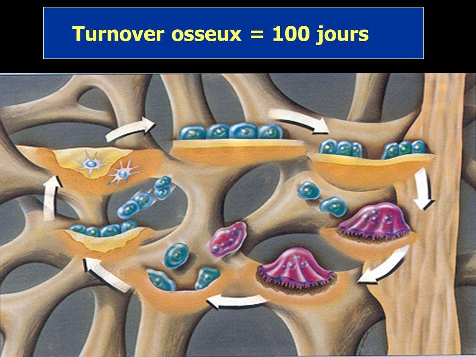 Les ostéoblastes sont des formateurs de los Ils dérivent de précurseurs de cellules sanguines Ils migrent vers des zones osseuses détruites par les os