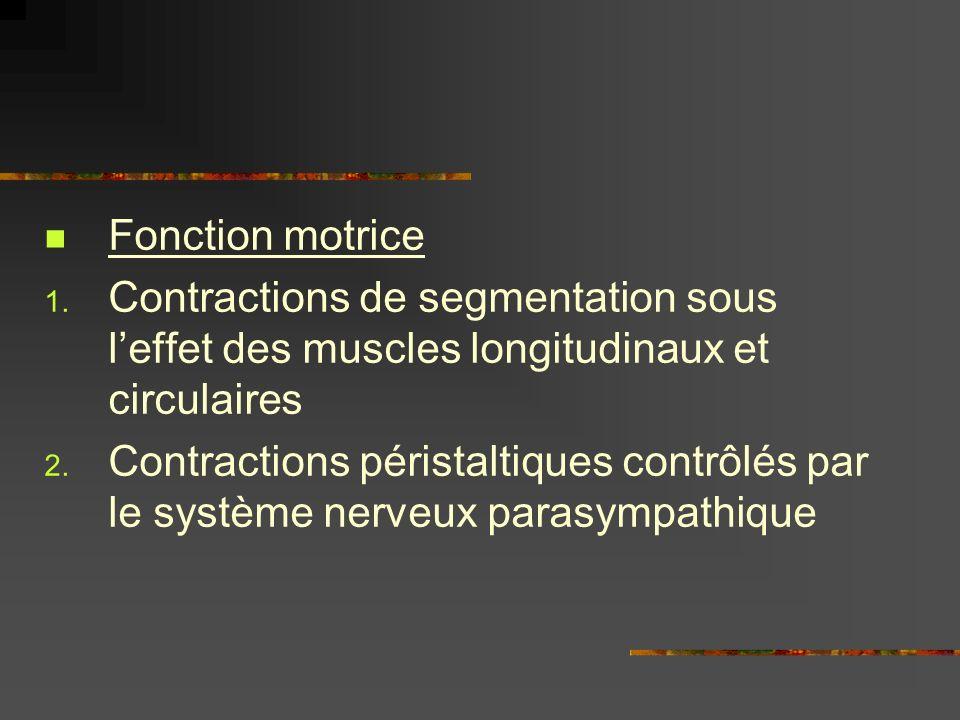 Fonction motrice 1. Contractions de segmentation sous leffet des muscles longitudinaux et circulaires 2. Contractions péristaltiques contrôlés par le