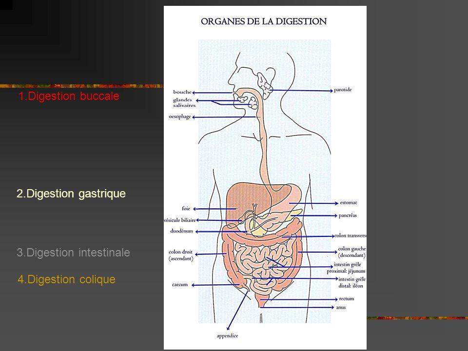 I.La digestion buccale 1. Activité motrice: Mastication Déglutition 2.