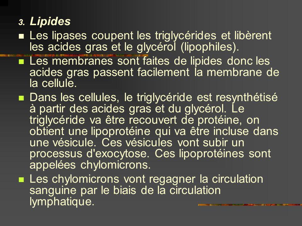 3. Lipides Les lipases coupent les triglycérides et libèrent les acides gras et le glycérol (lipophiles). Les membranes sont faites de lipides donc le
