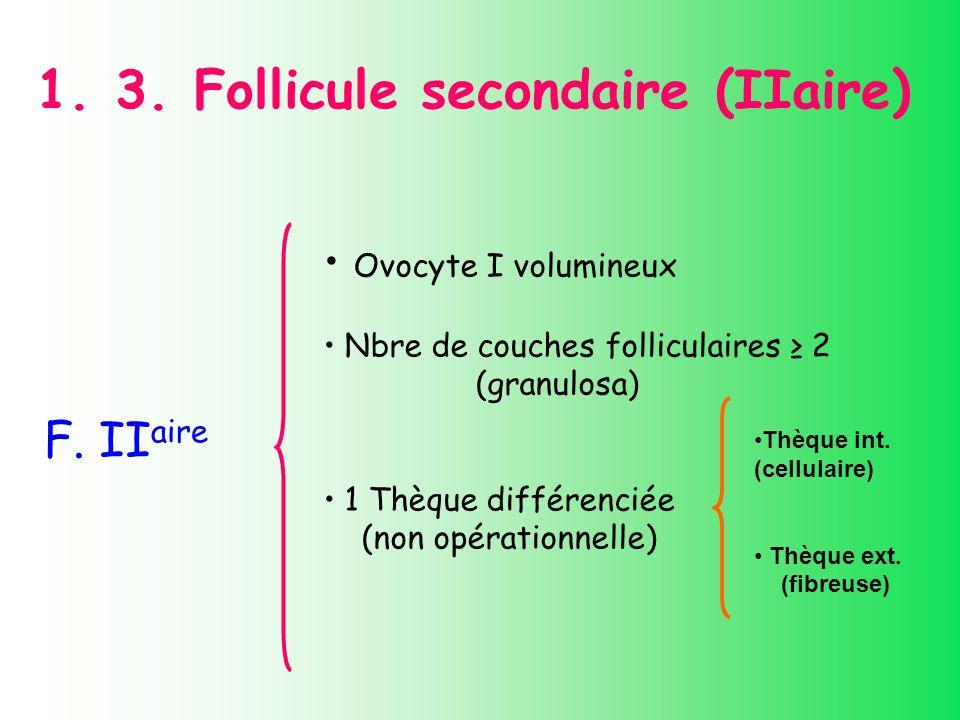 1. 3. Follicule secondaire (IIaire) F. II aire Ovocyte I volumineux Nbre de couches folliculaires 2 (granulosa) 1 Thèque différenciée (non opérationne