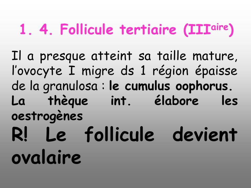 1. 4. Follicule tertiaire (III aire ) Il a presque atteint sa taille mature, lovocyte I migre ds 1 région épaisse de la granulosa : le cumulus oophoru