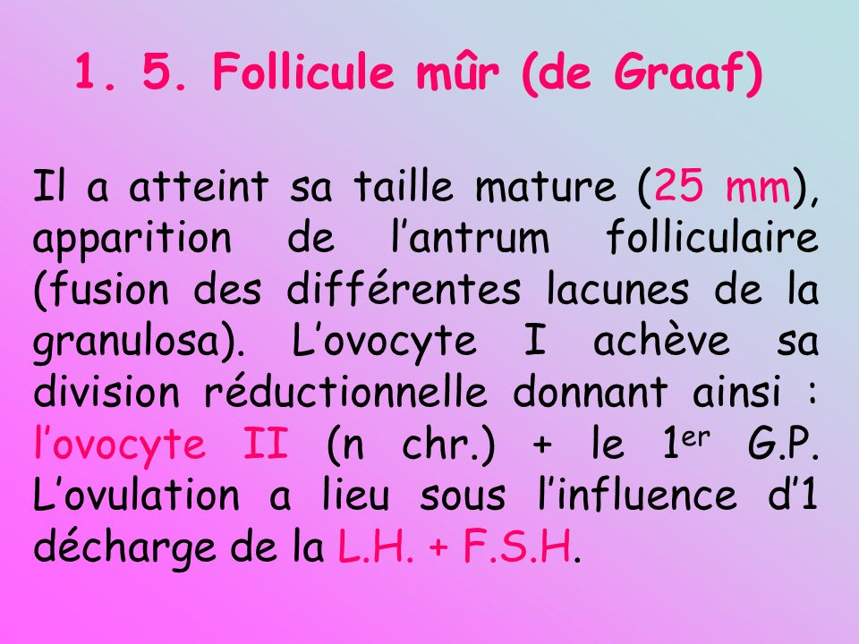 1. 5. Follicule mûr (de Graaf) Il a atteint sa taille mature (25 mm), apparition de lantrum folliculaire (fusion des différentes lacunes de la granulo