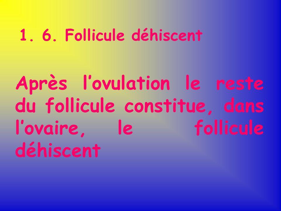 1. 6. Follicule déhiscent Après lovulation le reste du follicule constitue, dans lovaire, le follicule déhiscent