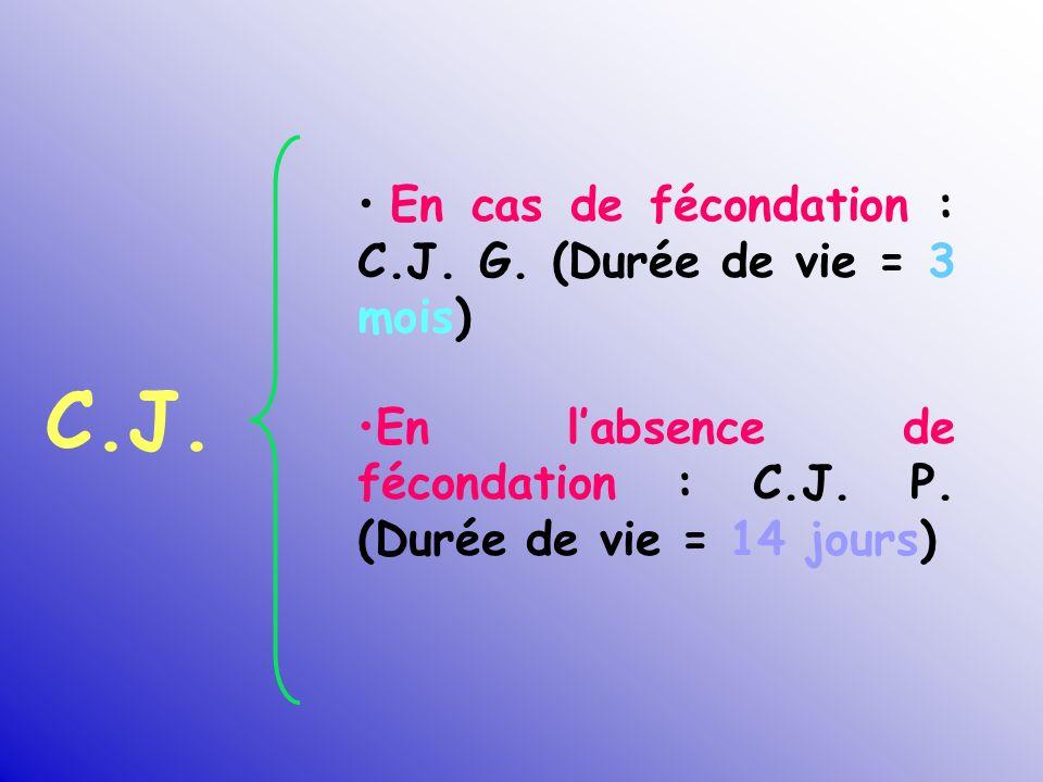 C.J. En cas de fécondation : C.J. G. (Durée de vie = 3 mois) En labsence de fécondation : C.J. P. (Durée de vie = 14 jours)