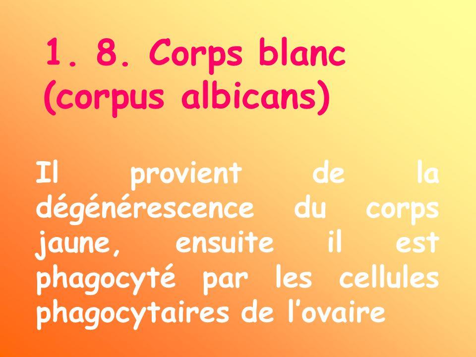 1. 8. Corps blanc (corpus albicans) Il provient de la dégénérescence du corps jaune, ensuite il est phagocyté par les cellules phagocytaires de lovair