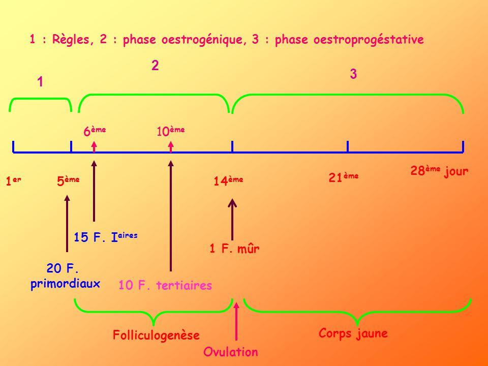1 er 5 ème 14 ème 21 ème 28 ème jour 1 2 3 1 : Règles, 2 : phase oestrogénique, 3 : phase oestroprogéstative 20 F. primordiaux 6 ème 10 ème 15 F. I ai