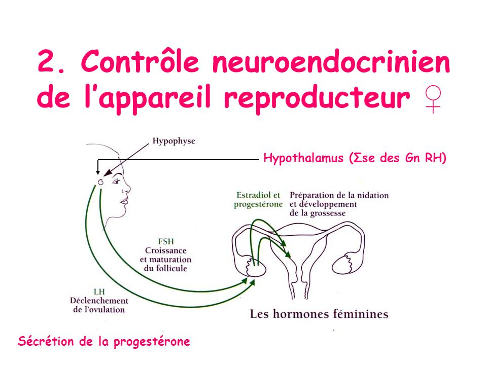 2. Contrôle neuroendocrinien de lappareil reproducteur Sécrétion de la progestérone Hypothalamus (Σse des Gn RH)
