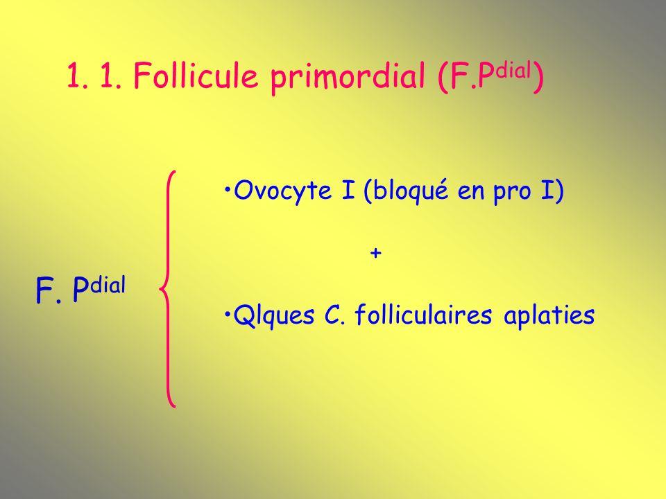1. 1. Follicule primordial (F.P dial ) F. P dial Ovocyte I (bloqué en pro I) + Qlques C. folliculaires aplaties