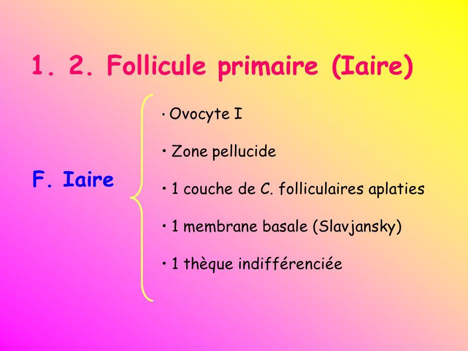1. 2. Follicule primaire (Iaire) F. Iaire Ovocyte I Zone pellucide 1 couche de C. folliculaires aplaties 1 membrane basale (Slavjansky) 1 thèque indif