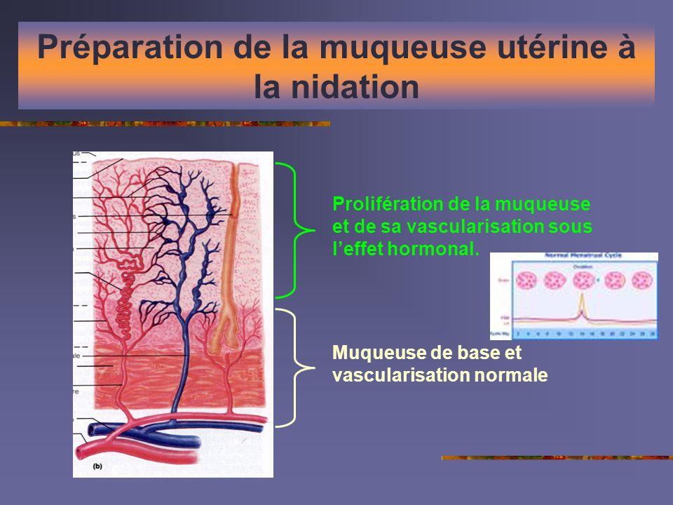 Préparation de la muqueuse utérine à la nidation Muqueuse de base et vascularisation normale Prolifération de la muqueuse et de sa vascularisation sou