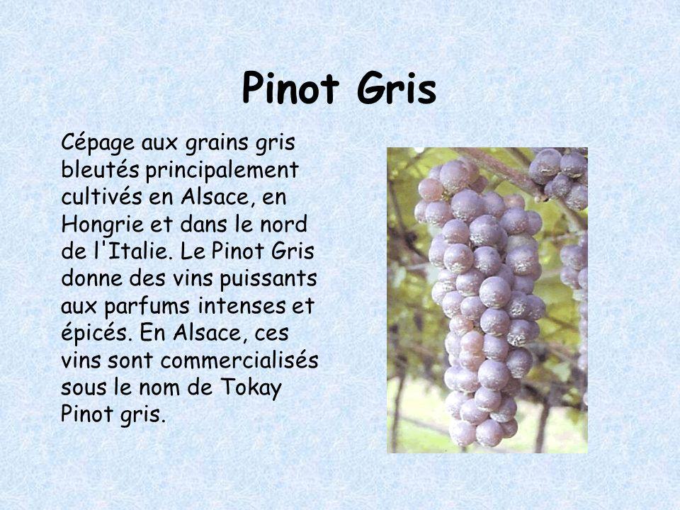 Pinot Gris Cépage aux grains gris bleutés principalement cultivés en Alsace, en Hongrie et dans le nord de l Italie.