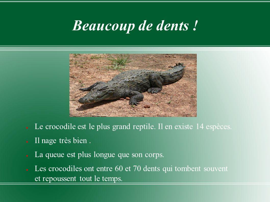 Beaucoup de dents ! Le crocodile est le plus grand reptile. Il en existe 14 espèces. Il nage très bien. La queue est plus longue que son corps. Les cr