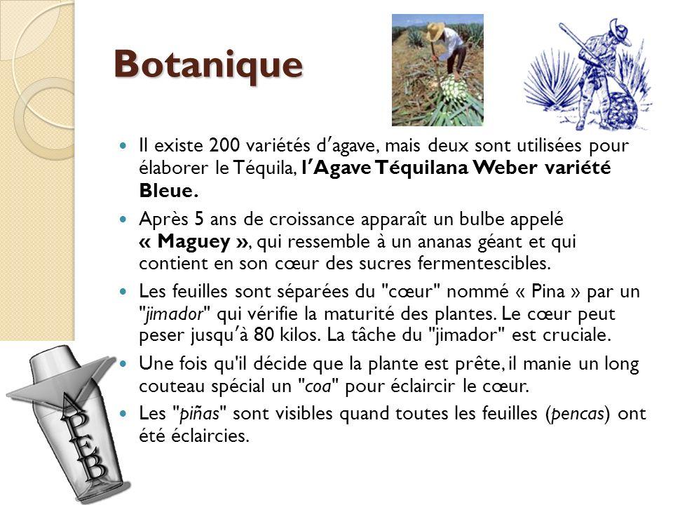 Botanique Il existe 200 variétés dagave, mais deux sont utilisées pour élaborer le Téquila, lAgave Téquilana Weber variété Bleue.