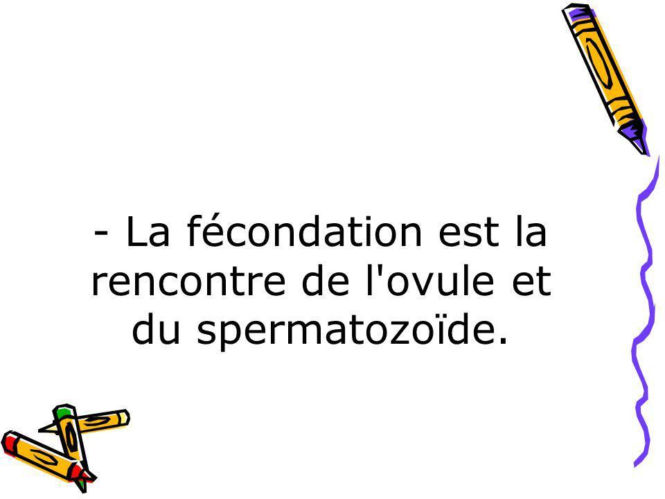 - La fécondation est la rencontre de l'ovule et du spermatozoïde.