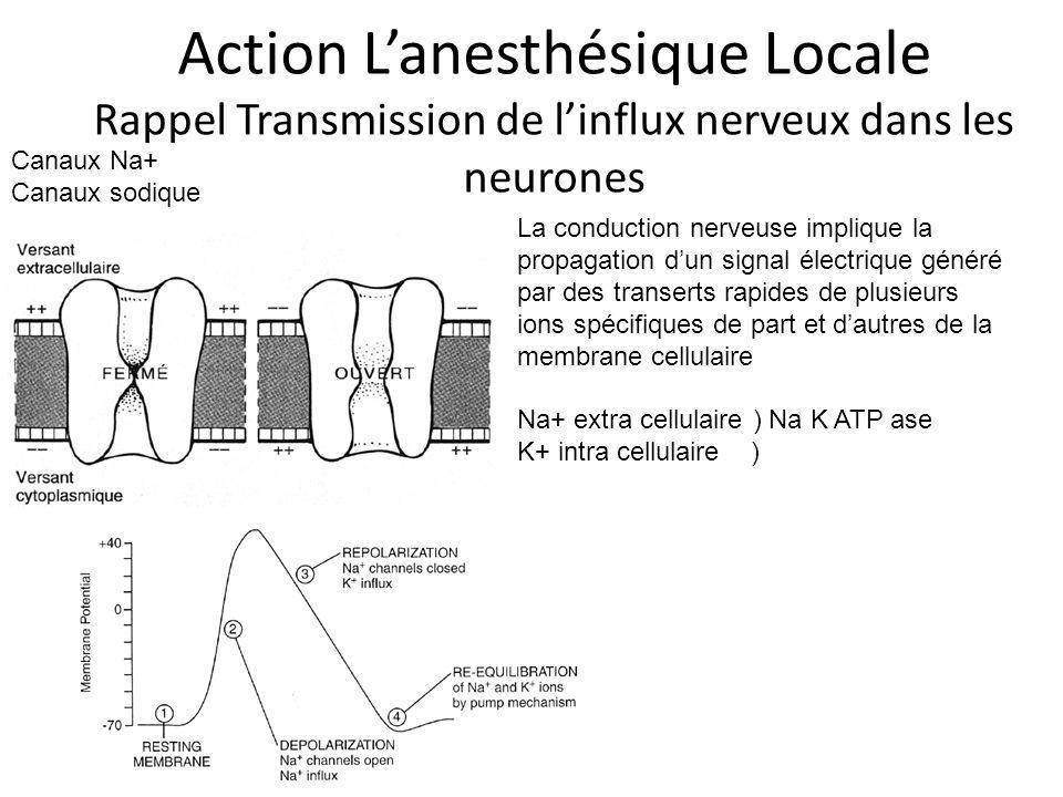 Action Lanesthésique Locale Rappel Transmission de linflux nerveux dans les neurones Canaux Na+ Canaux sodique La conduction nerveuse implique la prop