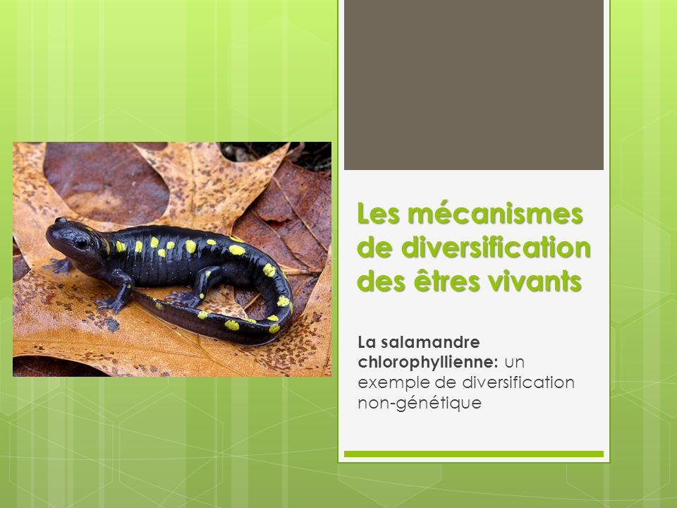 Les mécanismes de diversification des êtres vivants La salamandre chlorophyllienne: un exemple de diversification non-génétique