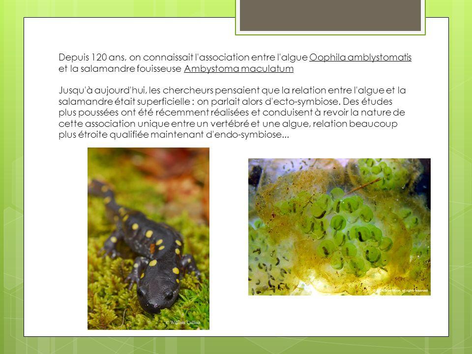 Depuis 120 ans, on connaissait l'association entre l'algue Oophila amblystomatis et la salamandre fouisseuse Ambystoma maculatum Jusqu'à aujourd'hui,