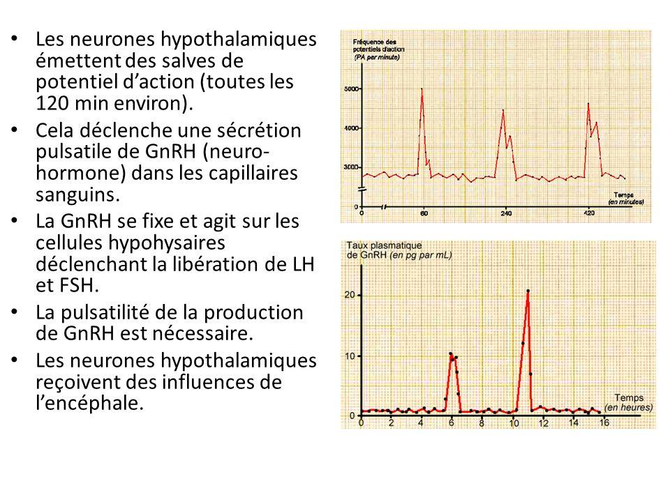 Les neurones hypothalamiques émettent des salves de potentiel daction (toutes les 120 min environ). Cela déclenche une sécrétion pulsatile de GnRH (ne