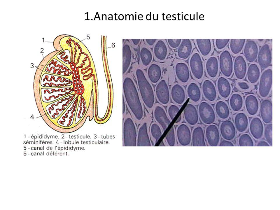 1.Anatomie du testicule