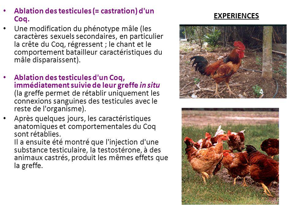 EXPERIENCES Ablation des testicules (= castration) d'un Coq. Une modification du phénotype mâle (les caractères sexuels secondaires, en particulier la