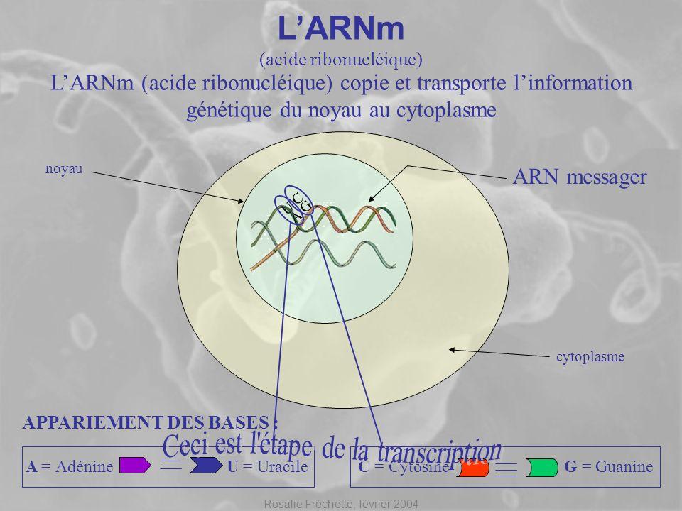 Rosalie Fréchette, février 2004 LARNm (acide ribonucléique) APPARIEMENT DES BASES : C = CytosineG = Guanine noyau cytoplasme LARNm (acide ribonucléiqu