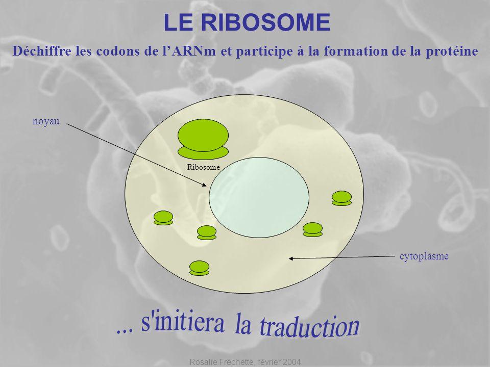 Rosalie Fréchette, février 2004 LE RIBOSOME Déchiffre les codons de lARNm et participe à la formation de la protéine noyau cytoplasme Ribosome ARNm