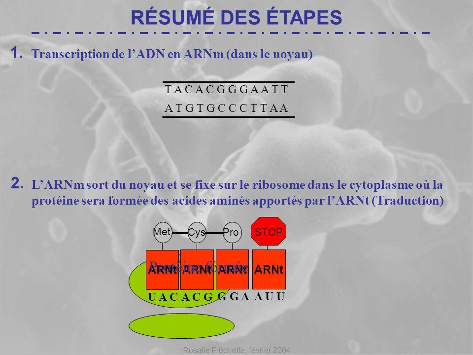 Rosalie Fréchette, février 2004 RÉSUMÉ DES ÉTAPES 1. Transcription de lADN en ARNm (dans le noyau) T A C A C G G G A A T T A T G T G C C C T T A AA U