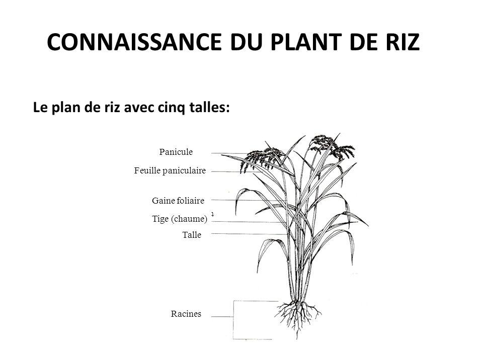 CONNAISSANCE DU PLANT DE RIZ Le plan de riz avec cinq talles: Panicule Feuille paniculaire Gaine foliaire t Tige (chaume) Talle Racines