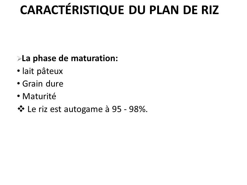 CARACTÉRISTIQUE DU PLAN DE RIZ La phase de maturation: lait pâteux Grain dure Maturité Le riz est autogame à 95 - 98%.