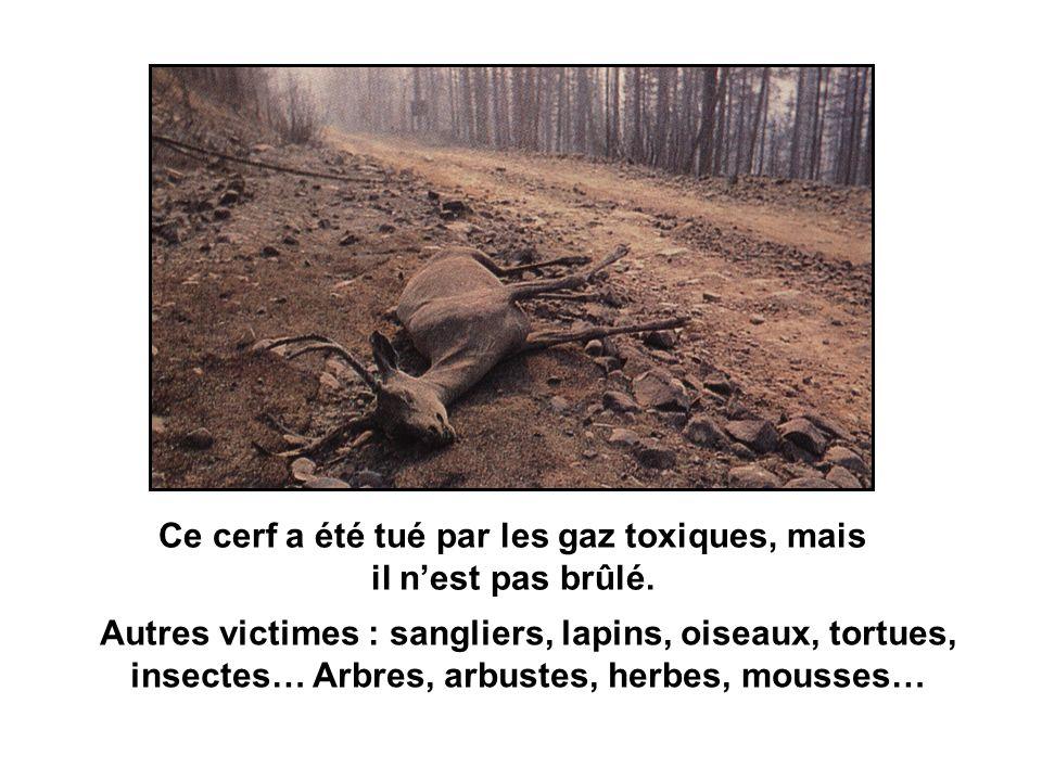 Après lincendie Balaruc (34) – 5/7/98 Le pare-feu et quelques arbres nont pas brûlé !!!