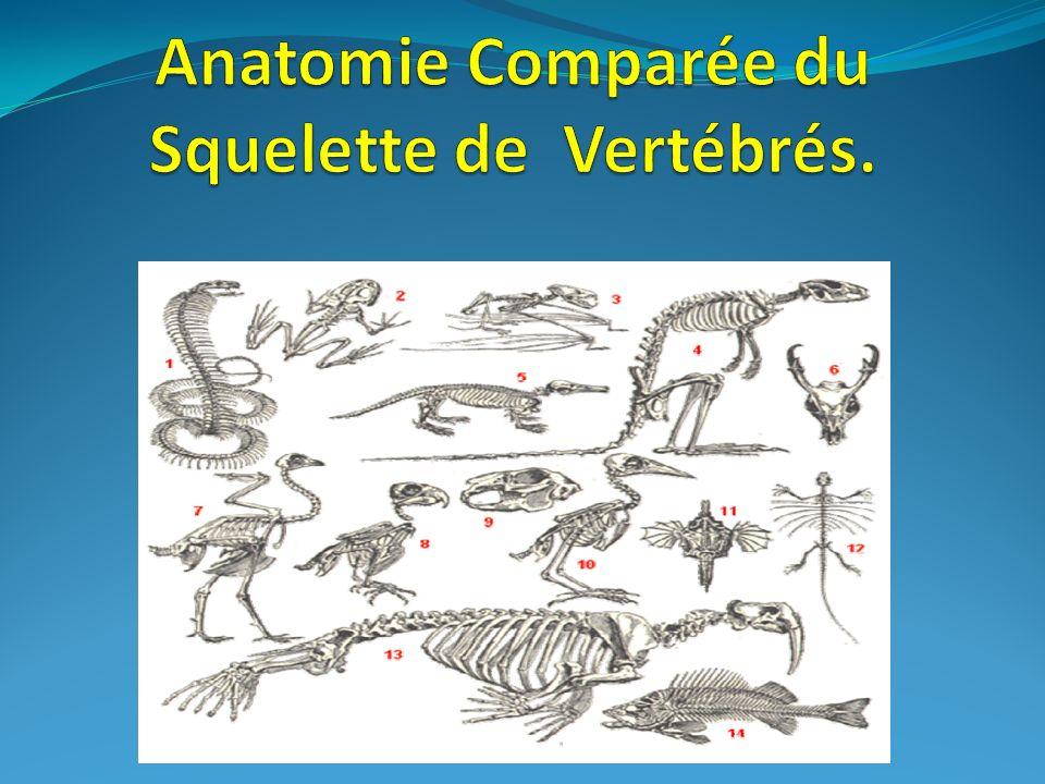 chez les lézards la fosse inférieure souvre ventralement par rupture de la barre inférieure (quadrato- jugal).