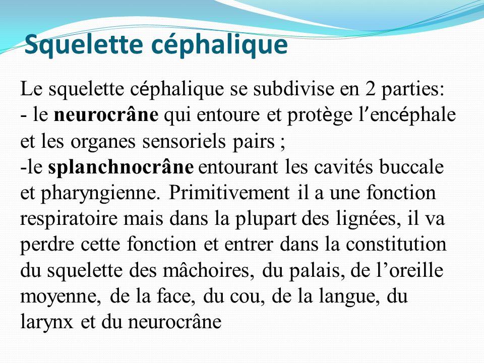 Squelette céphalique Le squelette c é phalique se subdivise en 2 parties: - le neurocrâne qui entoure et prot è ge l enc é phale et les organes sensor